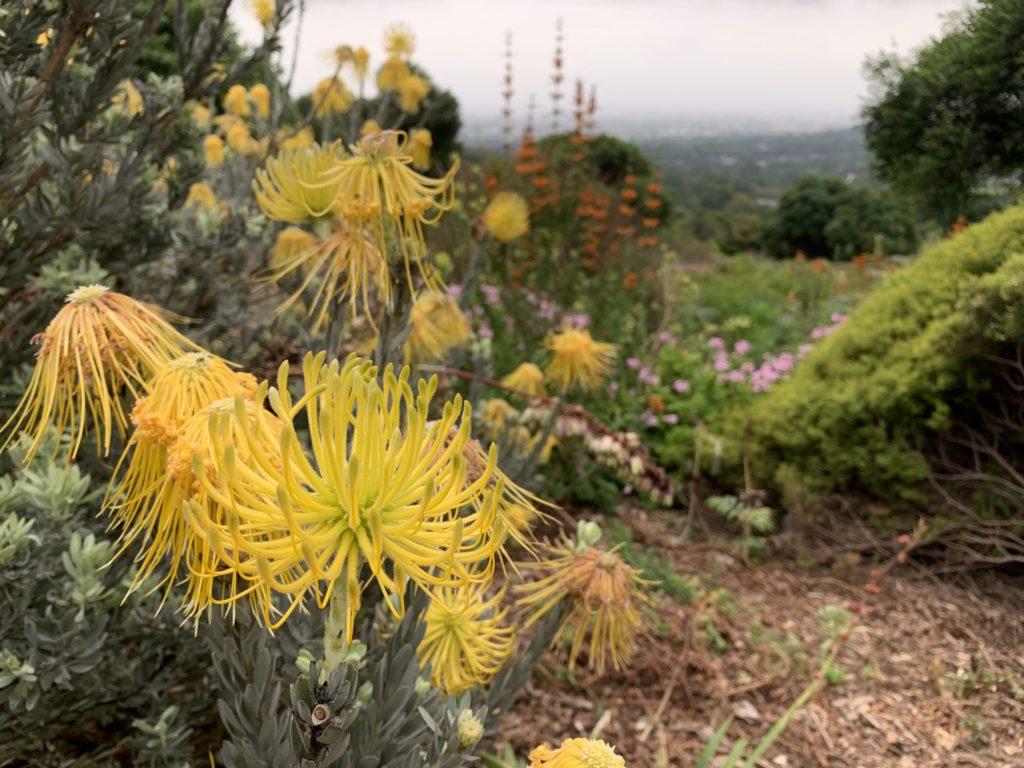 Leucospermum reflexum à Kirstenbosch