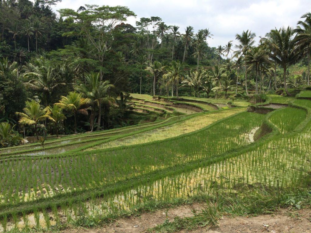 Rizière à Gunung Kawi