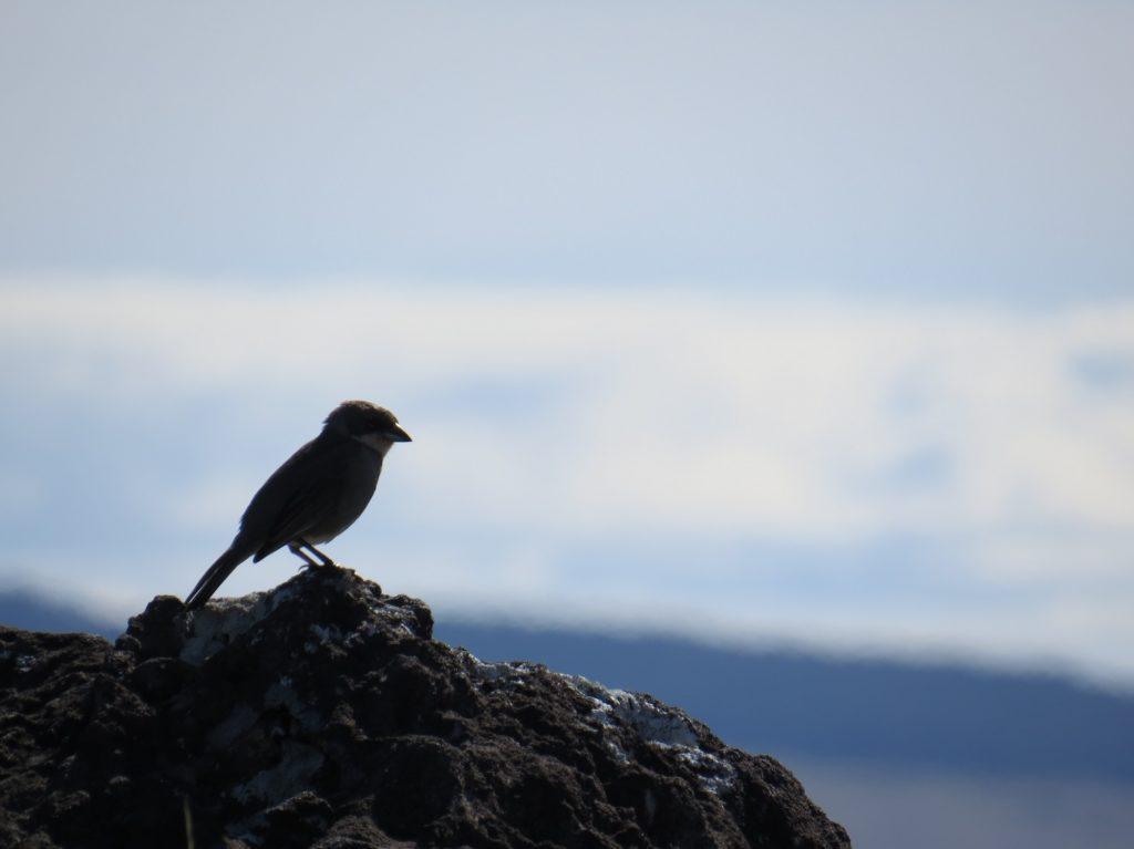 Oiseau à Rapa Nui